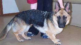 Osteochondrodysplasias Leg Deformities and Dwarfism - in the Canine