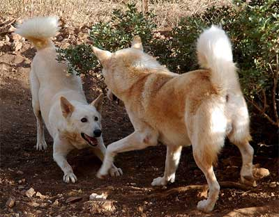 Canaan Dogs, feral breed